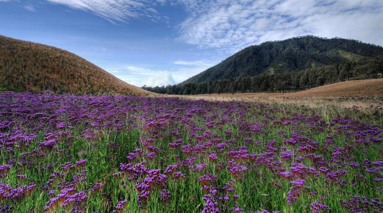 Verbana (Verbena brasiliensis) mirip dengan lavender