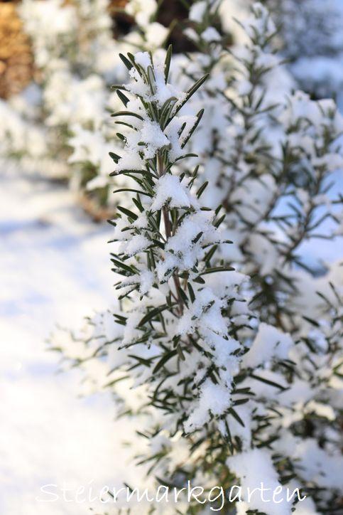 Rosmarin-im-Schnee-Steiermarkgarten