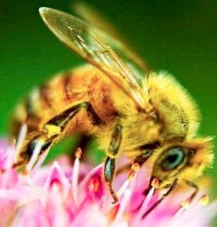 Foto de la abeja - Animal con A