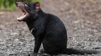 Tasmanian Devil pictures_Sarcophilus harrisii
