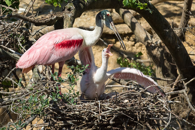 Roseate Spoonbill Adult and Baby, Smith Oaks Sanctuary