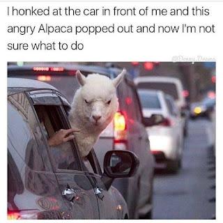 angry alpaca disdainful look