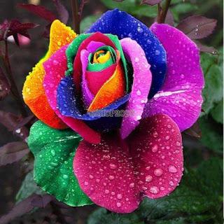 rosas-teñidas