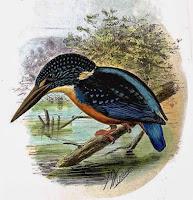 Blyth's kingfisher (Alcedo hercules)