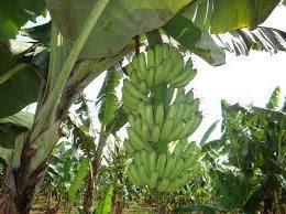 Pohon-Pisang-Ambon