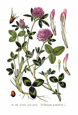 This herbaceous plant is distinguished by its leaves (three leaves - trifolium) characteristic of the clover. On the thin stem, there is flower in red to purple color in the shape of a head.