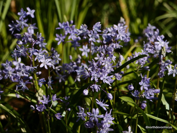 Spring Squill at Hartland Abbey. Photo copyright Pat Adams (All rights reserved)