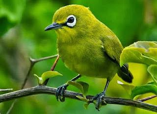 Spesies Pleci Endemik dan Karakter Suara Kicauannya Di pasar burung sudah  banyak dijual burung kacamata asli Indonesia yang cantik f3815de23b