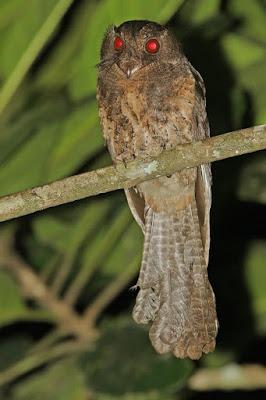 Moluccan Owlet nightjar