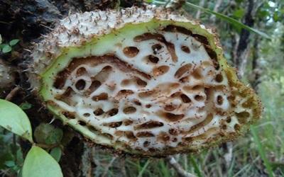 Cara Mengobati Limfoma di Leher dengan Sarang Semut