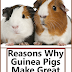 Reasons Why Guinea Pigs Make Great Pets