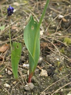 Muscari à larges feuilles - Muscari latifolium