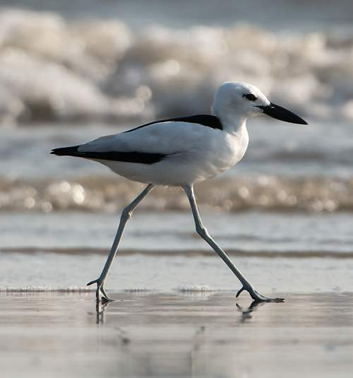 Birds of India - Photo of Crab-plover - Dromas ardeola