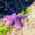 Ένας σπάνιος μοβ αστερίας