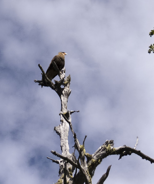 Birds of Patagonia: crested caracara in a tree