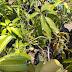 Agriculture - # Mango plants