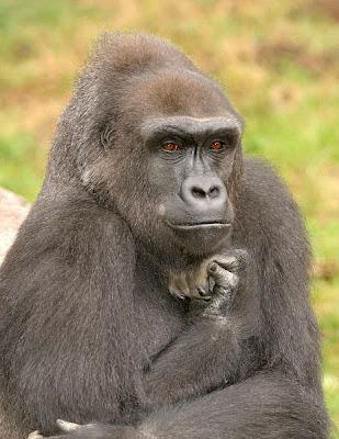 fotos de Colección: gorila pensativo  filosofo