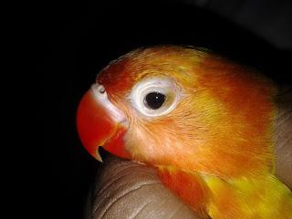 lovebird cacingan