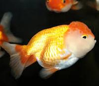 Jenis Ikan Koki Lionhead ikan hias lucu