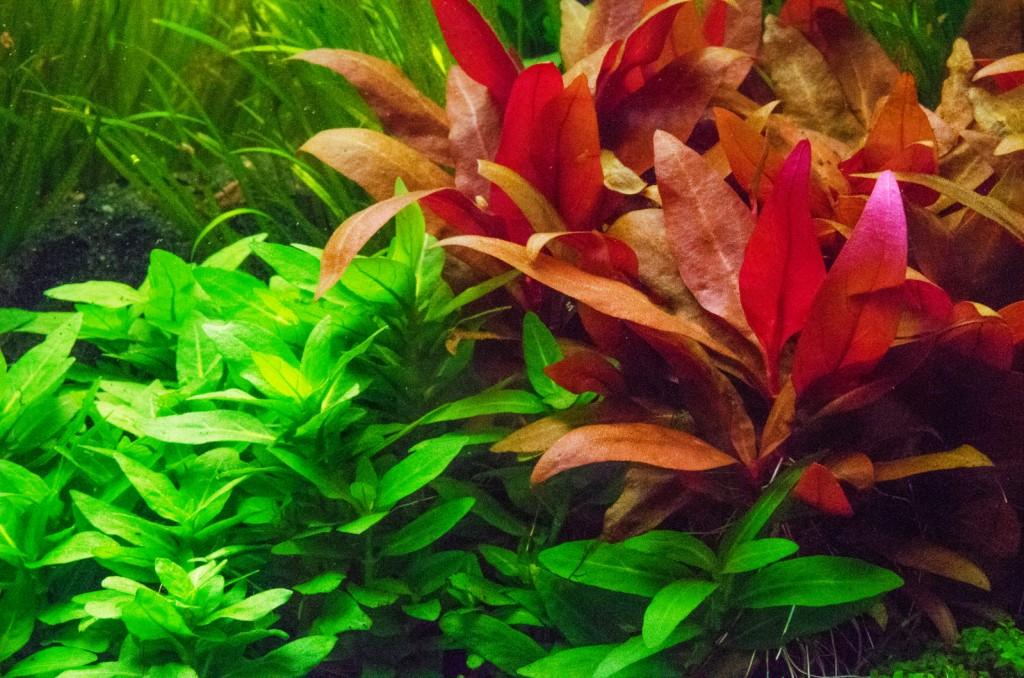 Màu đỏ hồng vô cùng nổi bật của cây thủy sinh huyết tâm lan mini
