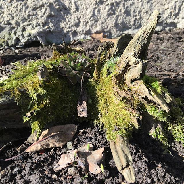 Dekorace z přírodniny - sukulent na starém pařezu