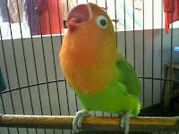 Download Suara Burung Lovebird Mp3 Gratis