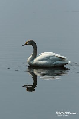 コハクチョウ ≪Bewick's Swan≫