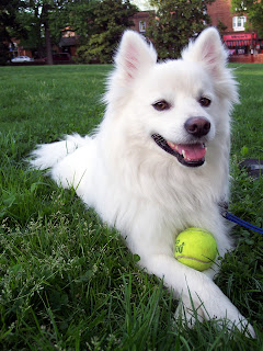 Everything about your American Eskimo Dog