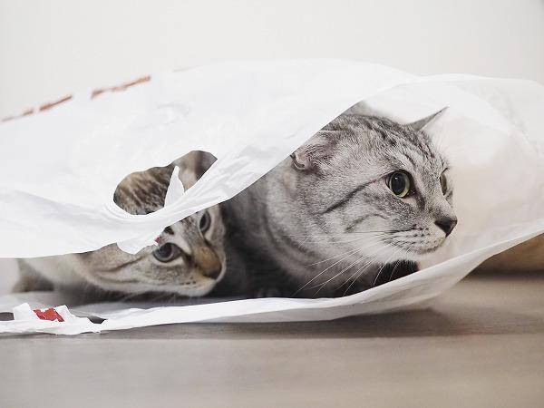 袋の中にいっしょに潜り込んでいるサバトラ猫とシャムトラ猫