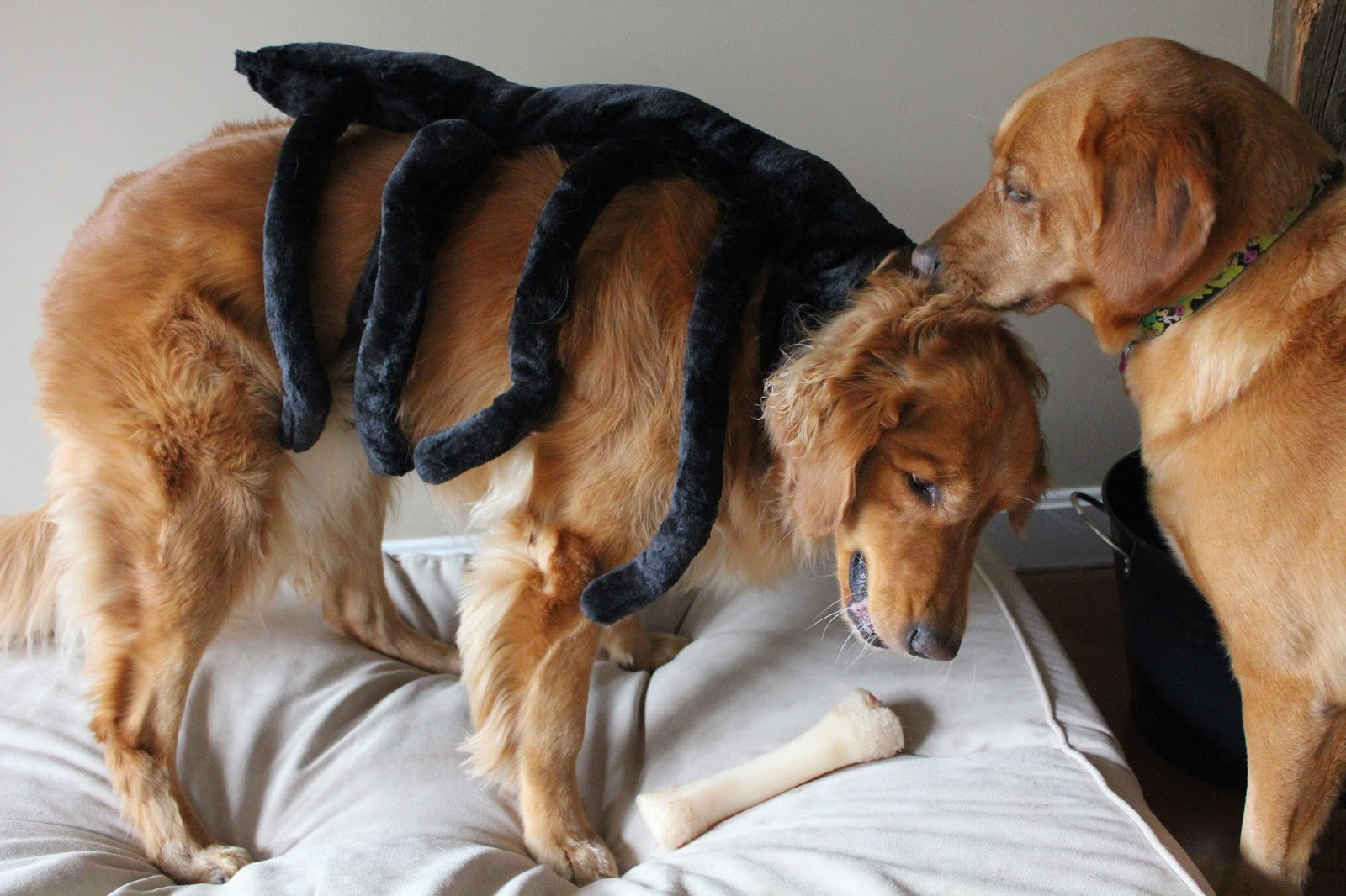 golden retriever dog dressed up as spider for halloween