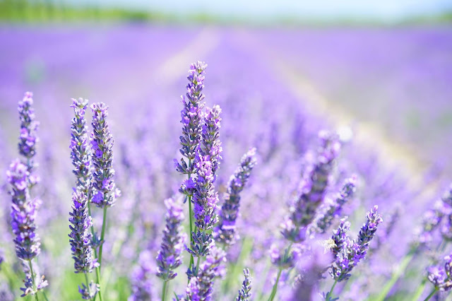 The Best Aromatic Plants for Your Summer Garden - lavender