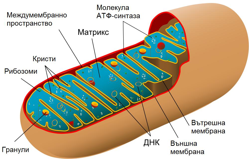 Вътрешно устройство на митохондрия