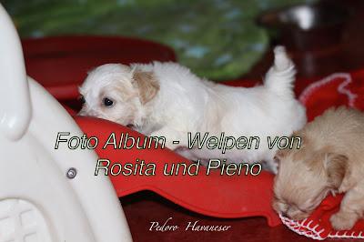 Havaneser Welpen Foto Album