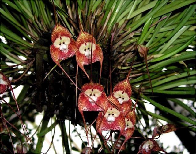 زهرة القرد الأوركيد  Monkey Face Orchid