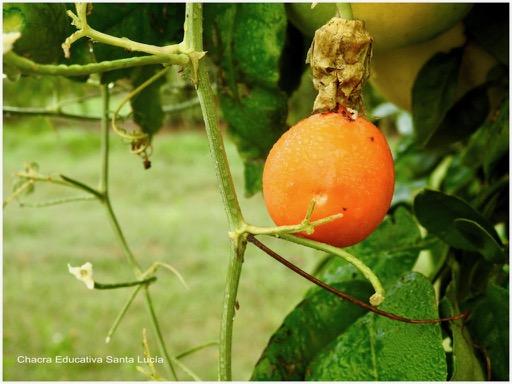 Fruto maduro - Chacra Educativa Santa Lucía