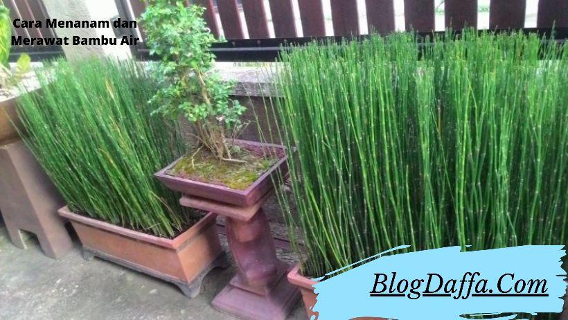 Cara Menanam dan merawat bambu air