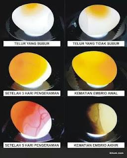 ciri telur tetas yang fertil dalam penetasan