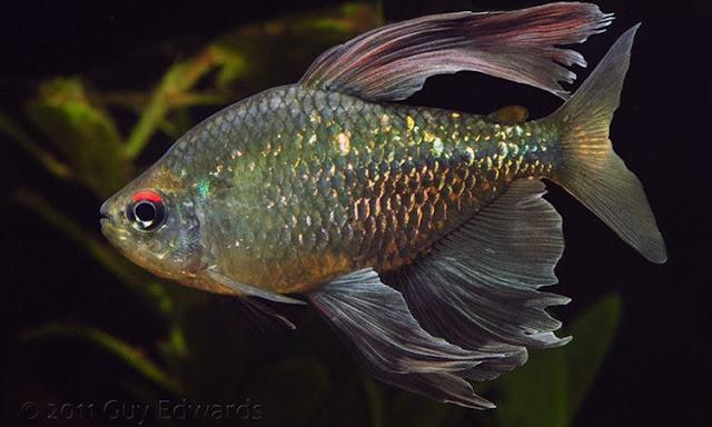 Pesona 10 Spesies Ikan Tetra Endemik Afrika