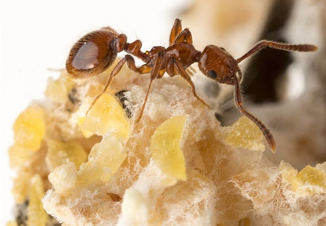 Baby-Eating Ants Use Espionage, Chemical Warfare To Score Free Rent
