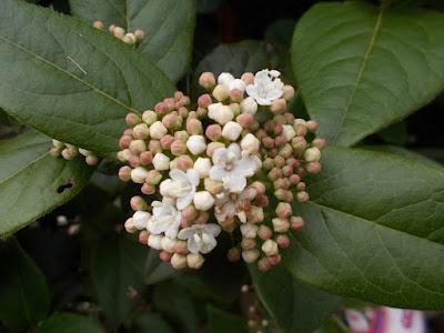 Viburnum Plants flowering in winter weird weather Green Fingered Blog