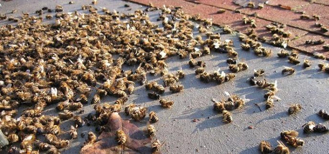 Uno de los estudios demostró que las abejas obreras y las reinas de las colmenas morían antes en contacto con neonicotinoides