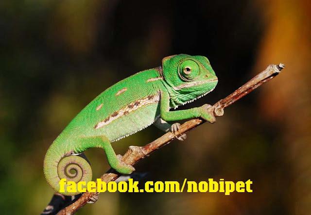 cach-nuoi-veiled-chameleon-tac-ke-hoa-doi-mau-nhu-y