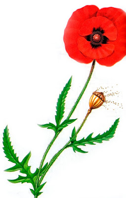 Seed poppy - Wind-pollinated flowers