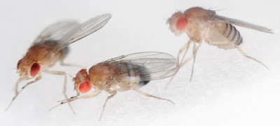 Using bad logic, evolutionists are assuming that we have an evolutionary relationship with fruit flies. Their reasoning is easily refuted.