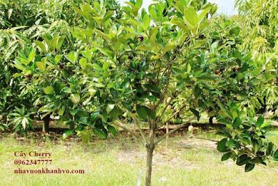 Công dụng và thành phần dinh dưỡng trong quả Cherry