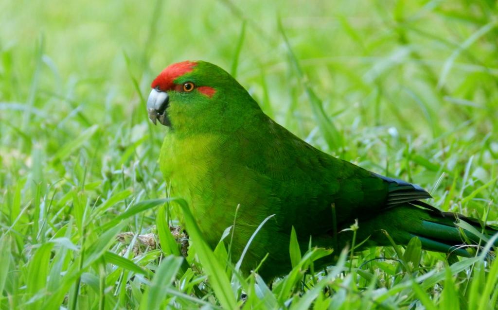 Parrots Planetary: Kakariki-Red-Fronted Parakeet