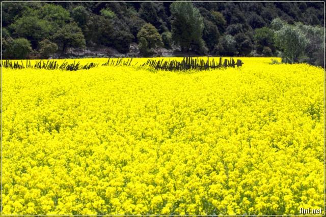vườn hoa cải đậm sắc vàng