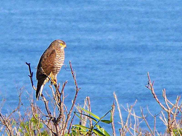 bird, Grey-faced Buzzard Eagle preched on tree with ocean view in background