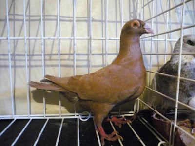 bagdad pigeons - szolnok  - Szolnoker Bagdette
