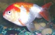 Jenis Ikan Koki Lionhead kepala bagus
